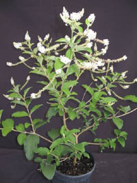 Aloysia virgata, Almond Bush
