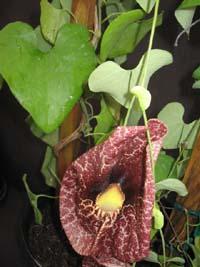 Aristolochia gigantea, Duck Flower.