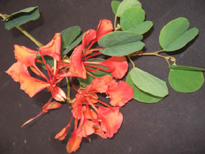 Bauhinia galpinii,Red Orchid Tree