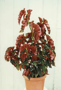 Begonia 'Cracklin' Rosie', Angel Wing