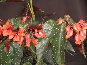 Begonia Mandarin Orange Angel Wing