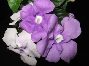 Brunfelsia australis, Yesterday, Today, and Tomorrow.