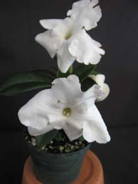 Brunfelsia lactea, Lady of the Night