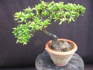 Bucida Spinosa Dwarf Black Olive
