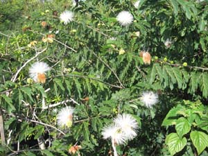 calliandra haematocephalla 'Alba' , White Powder Puff