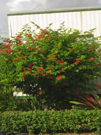 Calliandra haematocephala, Red Powder Puff