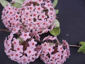 Hoya carnosa , Wax Flowers