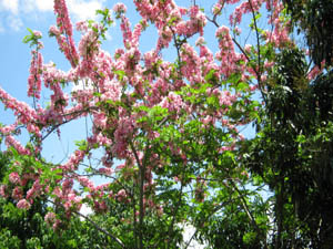 Cassia sp. (pink flowers)