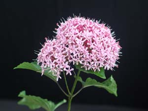 Clerodendrum bungei, Glory Flower.