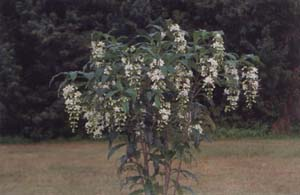 Clerodendrum wallichii, Bridal's Veil picture page.