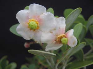 Clusia rosea 'Nana', Dwarf Pitch Apple.