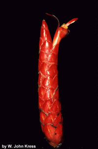 Costus pulverulentus, Red Button Ginger.