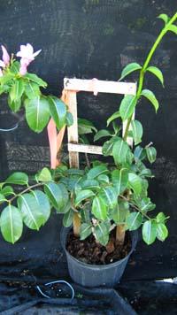 cryptostegiagrandi Variety Of Houseplants on