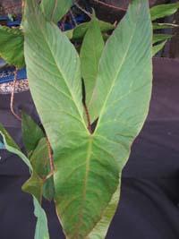 Cyrtospersma Johnstonii