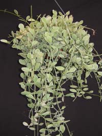 Dischidia sp. Variegated