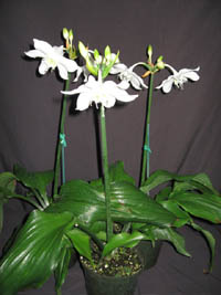 Eucharis grandiflora, Amazon lily