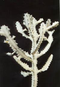 Euphorbia Lactea V Variegata White Ghost