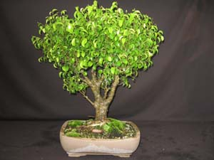 Ficus benjamina 'Too Little'