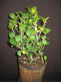 Ficus Deltoidea Mistletoe Fig