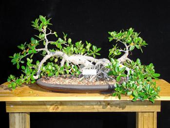 Ficus Microcarpa Green Island