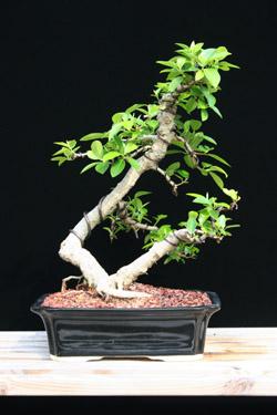 Ficus Natalensis Dwarf African Strangler Fig