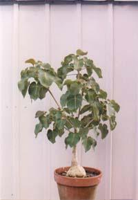 Ficus Petiolaris Rock Fig