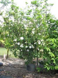 Gardenia Thunbergia Wild Gardenia