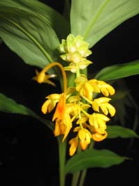 Globba schomburgkii, Yellow Dancing Girl.