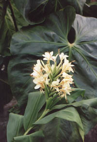 Hedychium flavescens, butterfly ginger.