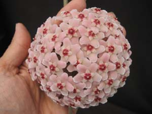 Most carnosa's have a light pink cluster with dark red center