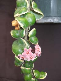 Hoya compacta 'Regalis' , Variegated Indian Rope