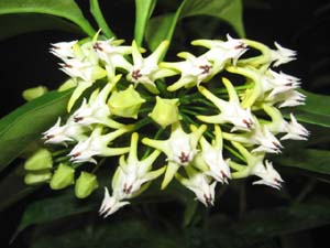 Hoya multiflora, Shooting Stars