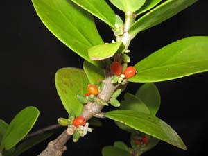 Hydnophytum Formicarum Ant Plant