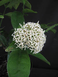 Ixora fragrans