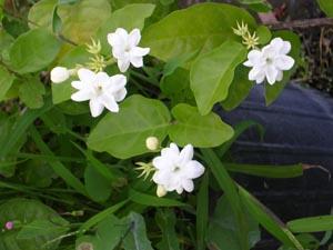 how to grow arabian jasmine