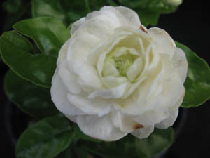 Jasminum sambac 'Grand Duke of Tuscany'