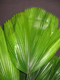 Licuala grandis , Fan Palm