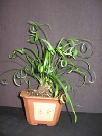 OPHIOPOGON JABURAN (curly leaf)