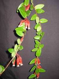 Macleania insignis