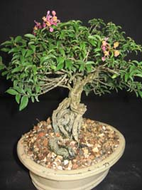 Malpighia punicifolia, Dwarf barbados Cherry bonsai.