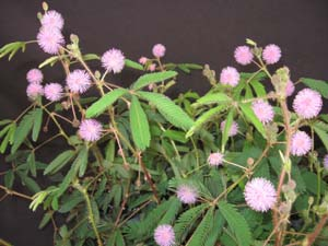 Mimosa pudica, Sensitive Plant.