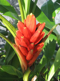 Musa coccinea, Red Banana.