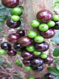 Myrciaria cauliflora, Jaboticaba fruit tree
