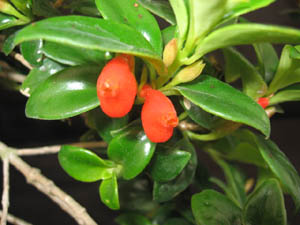 Nematanthus Christmas Holly, Gold Fish Plant