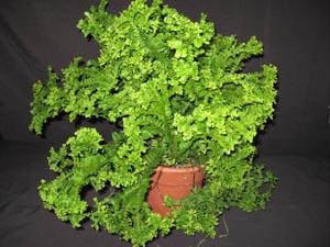 Nephrolepis Cordifolia Dwarf Petticoat Fern