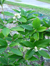 Osmanthus Fragrans Tea Olive
