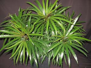Fragrant Indoor Plants Low Light