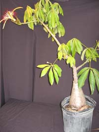 Pachira aquatica, Fortune Tree