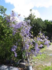 Petrea volubilis , purple wreath, queens-wreath