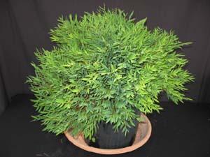 pogonatherium paniceum miniature bamboo. Black Bedroom Furniture Sets. Home Design Ideas